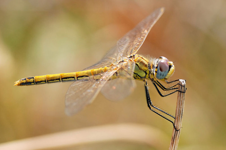 09-800px-Darter_August_2007-22_edit
