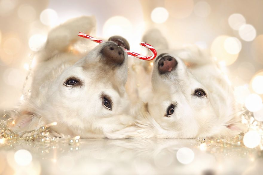 i-photograph-my-dog-mali-enjoying-christmas-time-11__880