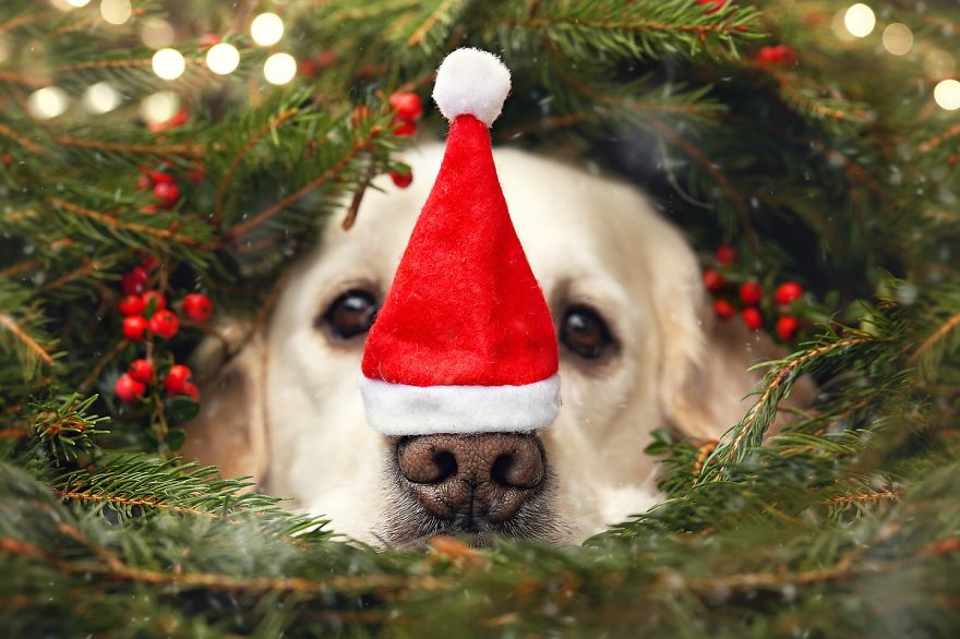 i-photograph-my-dog-mali-enjoying-christmas-time-6__880