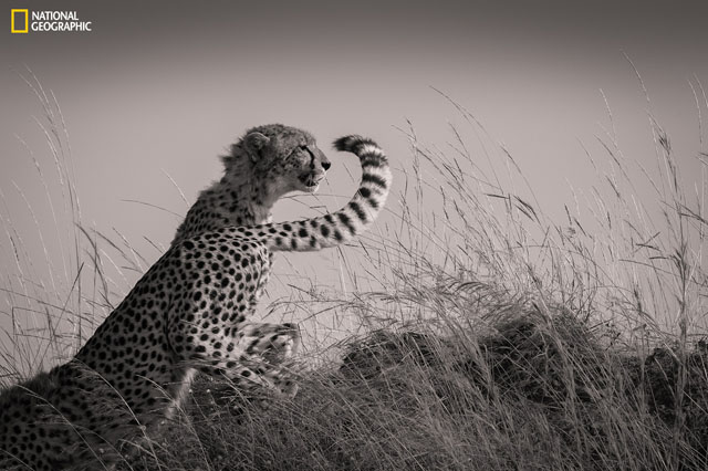 In Masai Mara, the cubs of the famous cheetah called Malaika became young enough to start hunting. They moved from one hill to another scanning the lands. Here, they seemed to change shifts as one cheetah leaves the hill while the other takes her place.