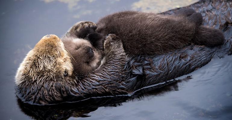 Nunnumeeter ribadeks: ühe päeva vanune saarmapoeg magab ema kõhul