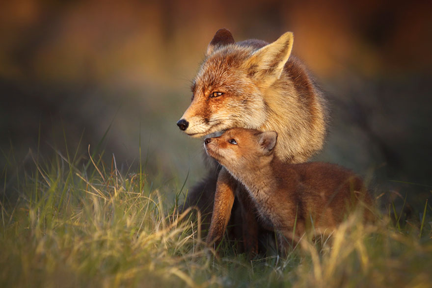fox-photography-joke-hulst-12