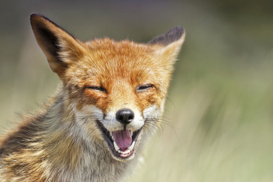 fox-photography-joke-hulst-7