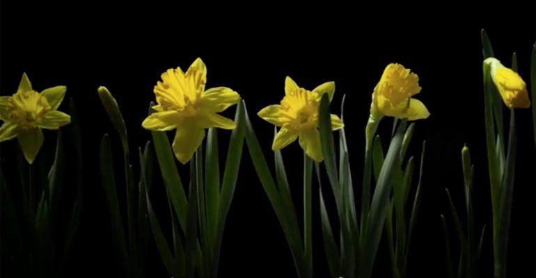 Kolm aastat ja 8 terabaiti andmeid hiljem sündis tõenäoliselt maailma ilusaim lillevideo